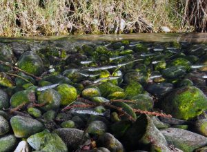 Chum salmon fry - Click to enlarge