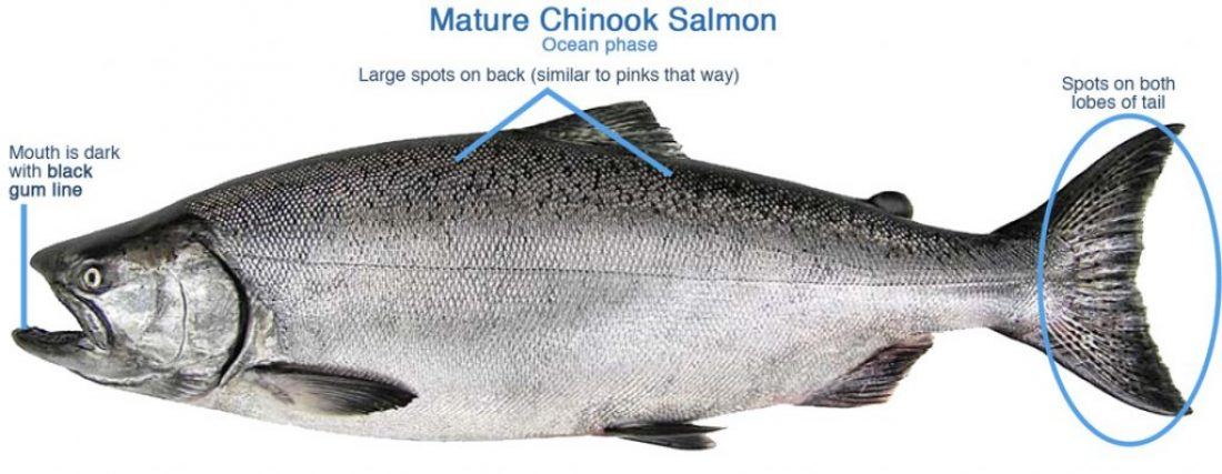 Diagram-Identifiable-Features-of-a-Mature-Ocean-Chinook-1100px