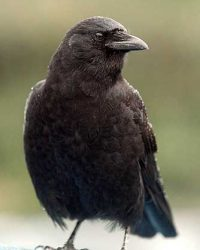 Predator: Raven