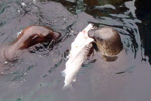 Harbor seals eating salmon