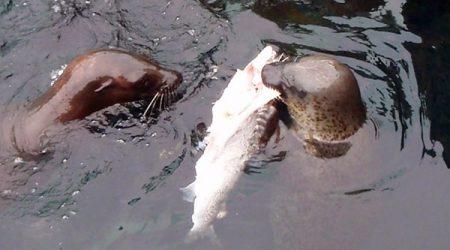 Predator: Harbor seals eating salmon at the Locks
