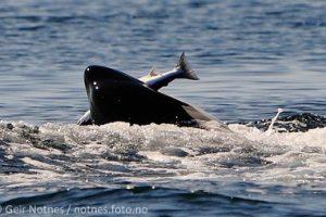 Orca eating salmon
