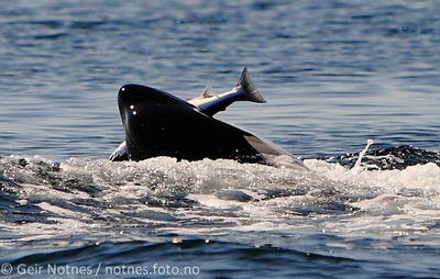Orca eating salmon