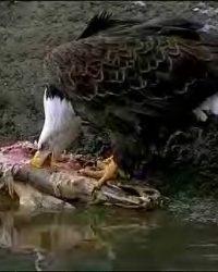 Predator: Bald Eagle