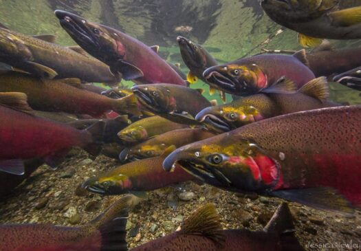 These coho salmon have traveled thousands of miles and are nearing the end of their journey in the upper Skagit River. ©Jessica Newley 2012